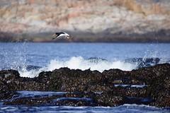 DSC01586_Fotor (Jagupov Igor) Tags: sea russia north oystercatcher kola peninsula barents haematopus ostralegus 12062016