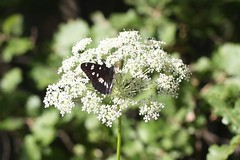 Southern White Admiral (Limenitis reducta) (iainrmacaulay) Tags: france butterfly southern admiral whire limenitis reducta