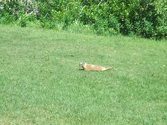 Yellow-bellied Marmot 1 (D. S. Haas) Tags: halas haas unitedstates usa utah saltlakecounty snowbird chordata sarcopterygii mammalia rodentia sciuridae marmotaflaviventris yellowbelliedmarmot marmot squirrel