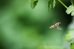 Episyrphus balteatus - Hoverfly - Courtyard 14 June (Laura Whitehead) Tags: hoverfly syrphus marmaladefly episyrphusbalteatus