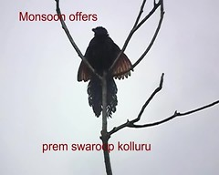 coucal (prem swaroop) Tags: india wings flight feathers monsoon wingspan drying koel coucal visakhapatnam monsoonoffers