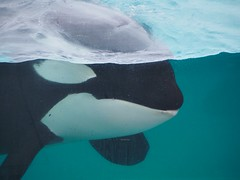 Lovey (EmilyOrca) Tags: pool face mammal aquarium marine underwater surface orca cetacean