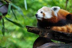 (Light Echoes) Tags: sony a6000 2016 spring may philadelphiazoo zoo philadelphia animal mammal redpanda firefox