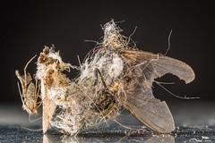 (Thomas Wilder) Tags: macro up dead close thomas bugs micro dust lint wilder