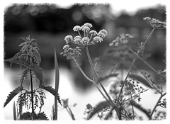 Nettles, Umbellifers, Lapworth (alanhitchcock49) Tags: black and white bw mono canal lapworth junction warwickshire 20 june 2016
