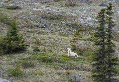 Dall's sheep (RS_1978) Tags: olympusem1 kanada wirbeltiere wildtiere tiere sugetiere animals animaux craniota mammalia mammals mammifres schdeltiere vertebrata vertebrates wildlife yukonterritory ca