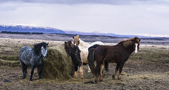 man's best friends in Iceland - HFF! (lunaryuna) Tags: horses weather animals season landscape iceland spring feeding furryfriday lunaryuna haybale hff icelandichorses