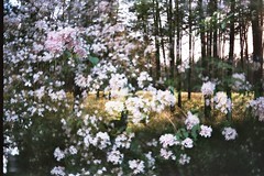 Forest Dreams (AirSonka) Tags: flowers dog sunlight film analog forest 35mm spring lomo doubleexposure toycamera multipleexposure analogue miro fort smena smena8m doubleexposed pelcula filmphotography pellicule agfavista200 airsonka doppelbelichtung miromil soniakaniss