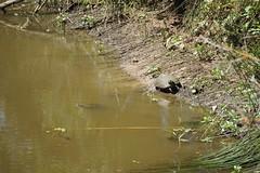 DSC01640 (Photos at SFEI) Tags: california water delta turtles grasses kr riparian cosumnes landscapeorientation