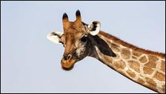 _SG_2016_05_Namibia_0105_IMG_1416 (_SG_) Tags: auto africa park trip tree water car nationalpark wasser solitude desert hole national afrika giraffe ausflug namibia herd baum strauch etosha watering wateringhole 2016 einde giraffen etoshanationalpark standpost wasserstelle etoshapark giraffenherde giraffesherd