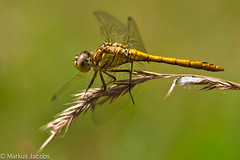 Immature male Vagrant Darter (markus.jacobs1899) Tags: macro nature insect tiere nikon dragonfly natur makro libelle insekten   motiv wildtiere  nikkormicro105mm d700 bokehmacrofriends