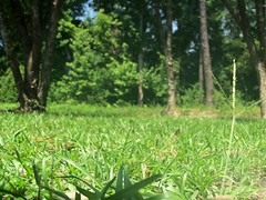 A Ground Level Photo Of Our Back Yard. (dccradio) Tags: lumberton nc northcarolina robesoncounty walnutmanorapartments tree trees greenery sky bluesky sunshine sunnyday landscape scenic nature leaves lawn grass photooftheday pictureoftheday picaday picoftheday dailyphoto project365 photo365