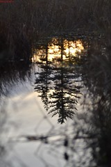 Sunset reflection (percy67) Tags: sunset reflection tree nature scotland nikon culloden d3100