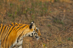 on  a mission, female Bengal Tiger, Kanha Tiger Reserve, India (cirdantravels) Tags: india bengaltiger pantheratigris kanhatigerreserve bengaalsetijger