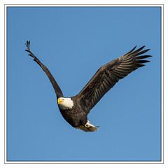 American Bald Eagle (Crested Aperture Photography) Tags: usa bird birds america us unitedstates eagle baldeagle maryland columbia raptor predator birdsofprey americaamerica greatnature