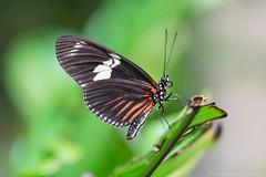 Oct2014_Rainforest-1445.jpg (KDsPictures) Tags: nature butterfly rainforest butterflies dorislongwing calacademyofsciences micro105lens october2014