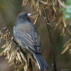Dark eye Junco (Explore, Dec 20th, #199) (RKop) Tags: cincinnati handheld birdfeederblind 704000gssmsony a77mk2