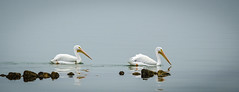 Tandem to the right (hickamorehackamore) Tags: morning reflection fog december texas tx pelican whitepelican rockport 2014