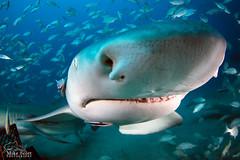 Lemon Shark closeup (MikeScottPhotography) Tags: canon florida scuba fisheye tokina sharks fl jupiter 6d seasea f3545 ikelite uwphotography 1017mm ysd1
