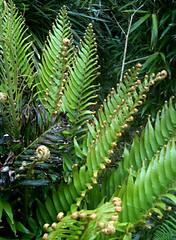 Fronds (David Matzdorf) Tags: clear cape exoticgarden comillane