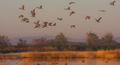 Sandhill Crane at Merced National Wildlife Refuge (Atascaderocoachsam) Tags: sandhillcrane birding birds mercednationalwildliferefuge nature gruscanadensis birdwatcher antigonecanadensis
