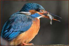 Kingfisher (image 1 of 2) (Full Moon Images) Tags: fish bird nature wildlife kingfisher stickleback