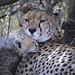 Cheetah and Cub Under An Acacia Tree