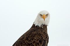 Week 48/52- Eye Contact (martinaschneider) Tags: bird eagle baldeagle raptor birdsofprey birdofprey 52weeksthe2014edition week482014 weekstartingwednesdaynovember262014