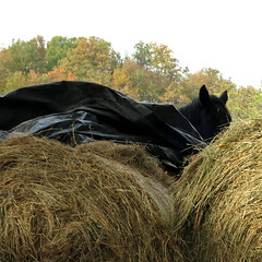 Black horse (Nature and human beings) Tags: horse cheval chevaux oreilles oreilledecheval