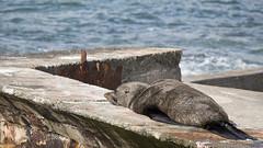 New Zealand #9 - Fur Seal (Francesco Ferruzzi) Tags: sea newzealand nature landscape island south natura seal southisland leone marino paesaggio furseal nuovazelanda orsina otaria