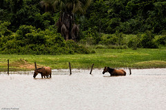 af1412_1715 (Adriana Fchter) Tags: horses horse color water brasil fauna caballo cheval agua running ameland cavalo equine frisian tocantins equines manes cheveaux adrianafuchter
