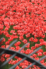 Blood Swept Lands & Seas Of Red (DSW Photography) Tags: uk england london art public ceramic moving respect display poppy poppies stunning tribute ww1 remembrance moat toweroflondon vies remeberance seaofpoppies paulcummins dswphotography ceramicpoppies bloodsweptlandsseasofred bloodsweptlands seasofred