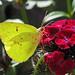 12 Days of Christmas Butterflies & Dragonflies - #8 Cloudless sulphur on red