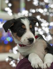 Mac the festive puppy (A child in the night) Tags: winter portrait puppy festive mac bordercollie christmaspuppy
