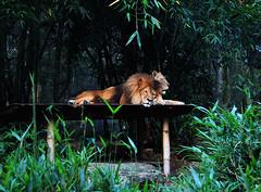 Lions (rachelemilybell) Tags: nature animal animals zoo lion taronga tarongazoo