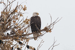 Bald Eagle on a cold, snowy day in Colorado