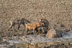 Crocuta crocuta & Syncerus caffer (Dindingwe) Tags: buffalo hyena zambia buffle southluangwa synceruscaffer africanbuffalo crocutacrocuta spottedhyena zambie hyène hyènetachetée buffledafrique
