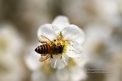 () Tags: canon bee marco  plumblossom plumflower   1dx marcolens whiteplumflower 100mmf28marco