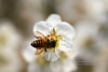 貪吃鬼 (湯小米) Tags: canon bee marco 蜜蜂 plumblossom plumflower 梅花 新社 1dx marcolens whiteplumflower 100mmf28marco