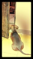Los vigilantes (Mayan_princess) Tags: cute dachshund hermoso haustier spoiled teckel vigilantes watchdogs linky salchicha blackandbrown consen nookinicolas