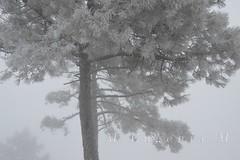 Nevada en Valdemaqueda (Madrid) 1 (M.Eugenia.M) Tags: madrid espaa white snow black cold tree blanco fog pinetree forest arbol grey gris spain branches nieve negro bosque trunk pino tronco niebla frio hielo ramas valdemaqueda