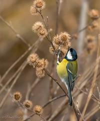 Great Tit (budgiepaulbird) Tags: teasel nationaltrust fens greattit burwell gardenbirds wickenfen