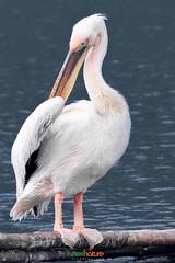 Pelican Preening at Dhaka Zoo (Enayetur Raheem) Tags: pelican bangladesh zoosigns dhakazoo mirpurzoo bangladeshtrip2014