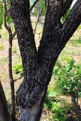 Fire Damage on trees. (betadecay2000) Tags: november fire australia darwin australien char feuer wald bume verbrannt northernterritory 2014 waldbrand mandorah verkohlt feuerschaden bushatmandorahbeachneardarwin