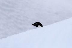 Adelie Penguin (Baractus) Tags: john point penguin antarctica le portal peninsula oates antarctic boreal adelie inthewakeofshackleton
