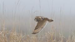 Short-eared owl (Asio flammeus) (Tony Varela Photography) Tags: owl shortearedowl asioflammeus owlsofnorthamerica owlsofwashingtonstate photographertonyvarela