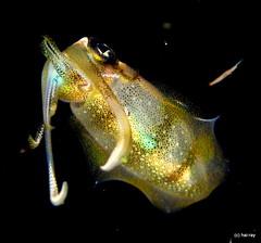 calamar @ bali night (Hai-Ray) Tags: bali canon indonesia underwater powershot scubadiving indonesien saltwater tauchen unterwasser g16 salzwasser
