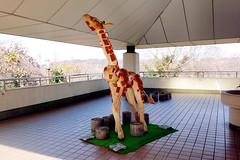 Wooden Giraffe : 木製のキリン (Dakiny) Tags: park winter sculpture art animal statue japan zoo photo object sony january sunny cybershot photograph giraffe yokohama kanagawa kanazawa carlzeiss 2015 variosonnar animalphoto rx100 kanazawazoo kanazawapark kanazawaward dscrx100 sonycybershotdscrx100