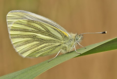 Green-veined white (Roger H3) Tags: white green insect lepidoptera veined