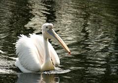 Roze Pelikaan (timvanessen) Tags: den vogels american rijn aan avifauna alphen